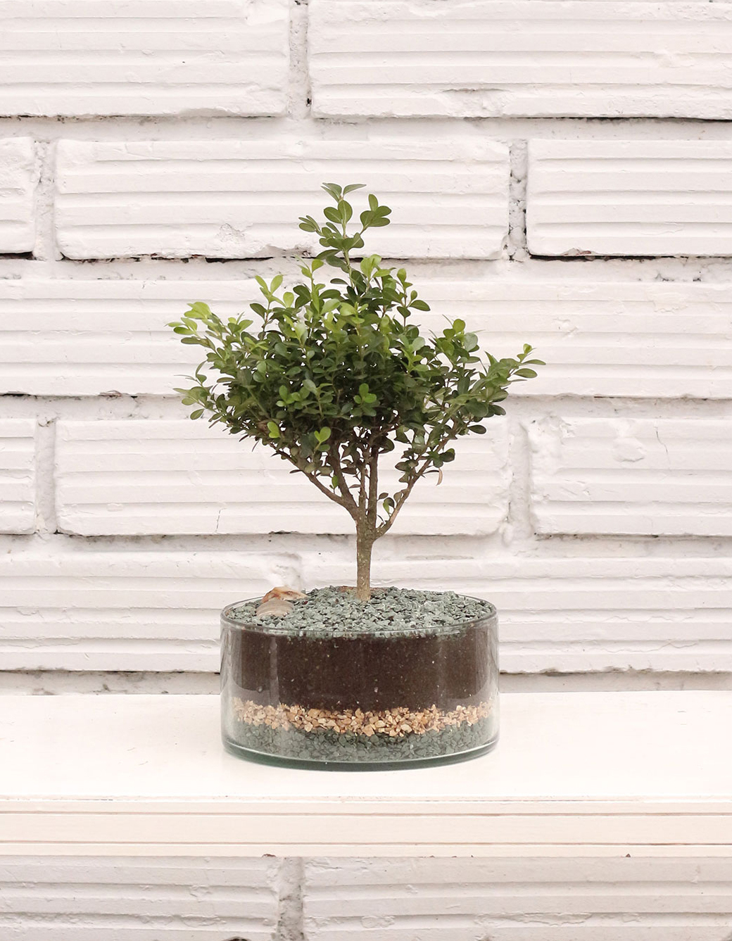como-cuidar-bonsai